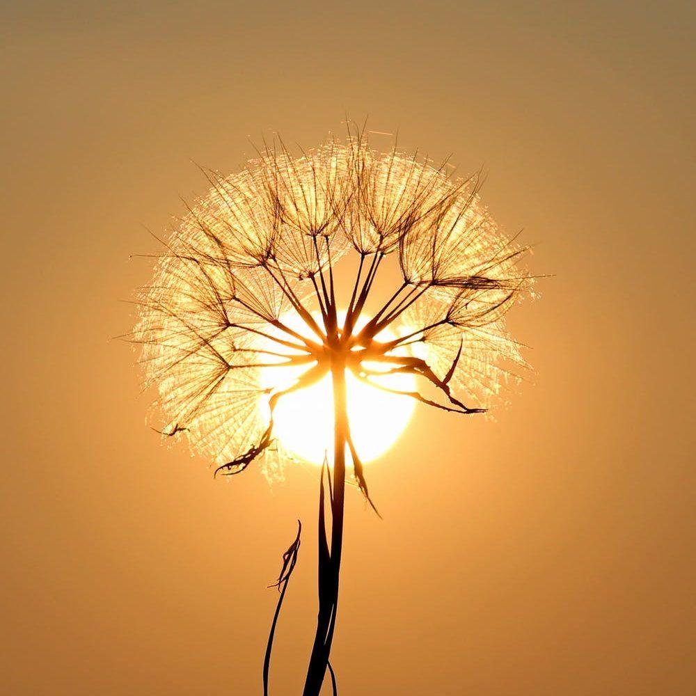 dandelion-sun-dew-water-192544